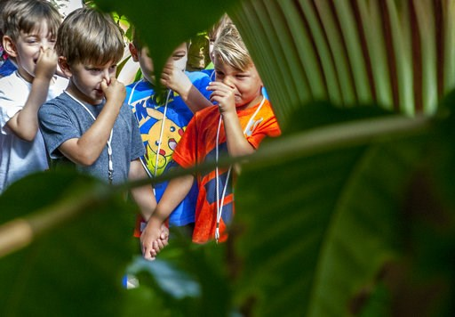 "(Cory Morse/The Grand Rapids Press via AP). Children react as a corpse flower blooms at Frederik Meijer Gardens and Sculpture Park in Grand Rapids, Mich., Thursday, July 12, 2018. The garden's staff nicknamed the flower ""Putricia"" for its putrid smell,..."