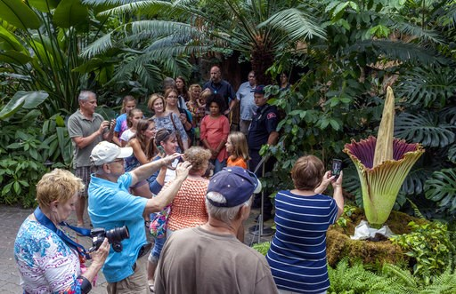 "(Cory Morse/The Grand Rapids Press via AP). A crowd looks as a corpse flower blooms at Frederik Meijer Gardens and Sculpture Park in Grand Rapids, Mich., Thursday, July 12, 2018. The garden's staff nicknamed the flower ""Putricia"" for its putrid smell, ..."