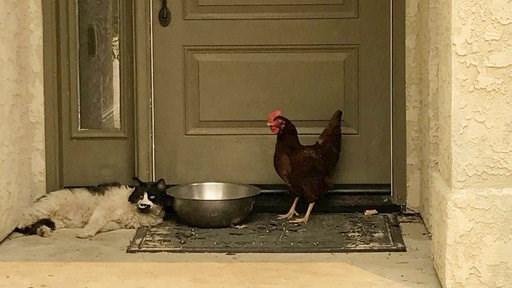 (Grass Valley Fire Department via AP). In this photo taken July 28, 2018, provided by the Grass Valley Fire Department, a cat seeking refuge from a raging Northern California wildfire found a fine-feathered friend as it awaited rescue from the heat and...