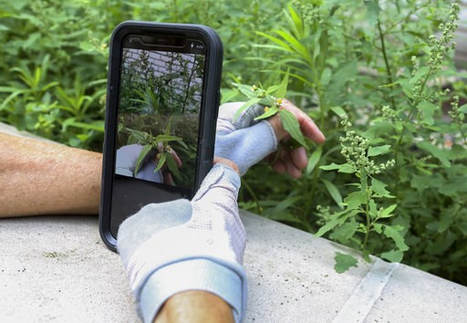 "(AP Photo/Emiliano Rodriguez Mega). In this July 27, 2018 photo, Susan Hewitt photographs a daisy-like weed known as 'shaggy soldier' and adds it to iNaturalist, the app she uses to participate in the New York City EcoFlora project. ""If people could ju..."