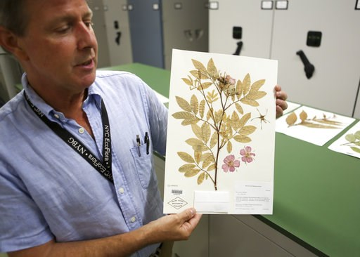 (AP Photo/Emiliano Rodriguez Mega). In this July 26, 2018 photo, Daniel Atha, left, and Brian Boom, right, look at two New York Botanical Garden specimens of a hardy plant called Italian arum in New York. The plant has the potential to take over and di...