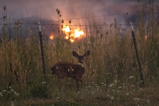(AP Photo/Noah Berger, File). FILE - In this Tuesday, July 31, 2018, file photo, with fire burning on multiple sides, a deer stands behind a fence as the River Fire tears though Lakeport, Calif. Authorities say a rapidly expanding Northern California w...