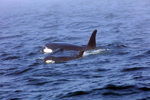 (Brian Gisborne/Fisheries and Oceans Canada via AP). In this Tuesday, Aug. 7, 2018, Southern Resident killer whale J50 and her mother, J16, swim off the west coast of Vancouver Island near Port Renfrew, B.C. J50 is the sick whale that a team of experts...