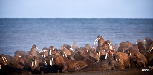 (Ryan Kingsbery/U.S. Geological Survey via AP, File). FILE - In this Sept. 2013 file photo provided by the U.S. Geological Survey, walruses gather to rest on the shores of the Chukchi Sea near the coastal village of Point Lay, Alaska. The head of the U...