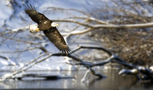 (AP Photo/Charlie Neibergall). FILE - In this Jan 11, 2009 file picture, a bald eagle flies over the Des Moines River near Pella, Iowa. The head of the U.S. Fish and Wildlife Service is stepping down after a 14-month tenure in which he proposed broad c...