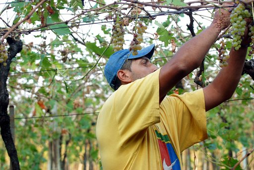 (AP Photo/Martino Masotto). FILE - In this Sept. 14, 2007 file photo, a worker picks grapes for harvest in the vineyards of Castelcerino, above the village of Soave, Northern Italy. The Italian wine grape harvest season has started with the picking of ...