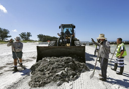 (AP Photo/Chris O'Meara). In this Monday Aug. 6, 2018 photo, work crew clean up dead fish on Coquina Beach in Bradenton Beach, Fla. From Naples in Southwest Florida, about 135 miles north, beach communities along the Gulf coast have been plagued with r...