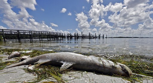 (AP Photo/Chris O'Meara). In this Monday Aug. 6, 2018 photo, a dead Snook is shown along the water's edge in Bradenton Beach, Fla. From Naples in Southwest Florida, about 135 miles north, beach communities along the Gulf coast have been plagued with re...