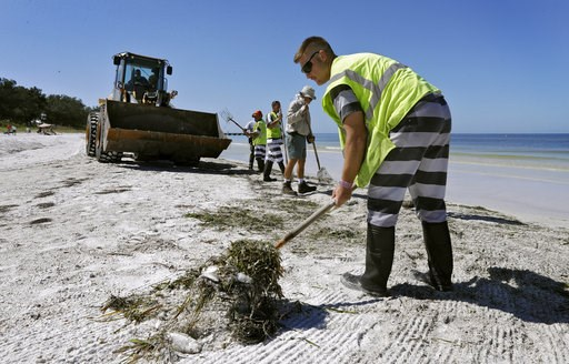 (AP Photo/Chris O'Meara). In this Monday Aug. 6, 2018 photo, work crews clean up dead fish along Coquina Beach in Bradenton Beach, Fla. From Naples in Southwest Florida, about 135 miles north, beach communities along the Gulf coast have been plagued wi...
