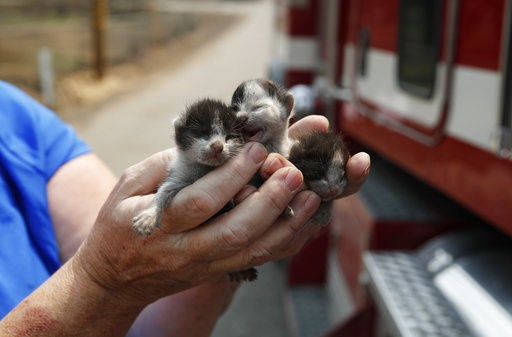 (AP Photo/John Locher). Rose Wyckoff holds up three kittens to a passing fire truck in a neighborhood destroyed by the Carr Fire, Friday, Aug. 10, 2018, in Redding, Calif. Wyckoff brought the kittens to a veterinarian after she couldn't find the mother.