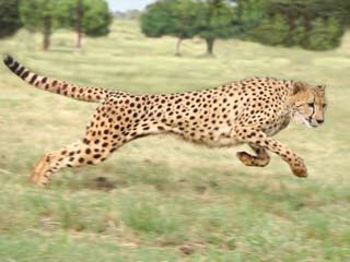 Cheetahs and pronghorn antelopes are among the animals that are faster than Usain Bolt. (©iStockphoto/Thinkstock)