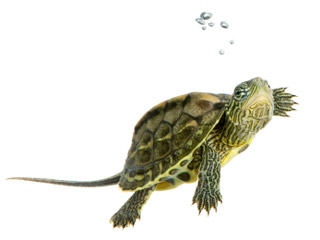 Small turtles continue to cause salmonella infections in people, especially among small children. (&amp;copy;iStockphoto.com/Eric Isselee)