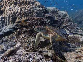 A sea turtle off of Heron Island, Australia. (Image courtesy of Digital Trends)