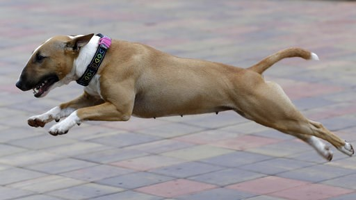 (AP Photo/Petr David Josek). The pet bull terrier owned by Czech entrepreneur Robert Hasek, wearing a doggy fitness tracker attached to the dog collar during a demonstration in Prague, Czech Republic, Friday, Aug. 10, 2018.  The Actijoy fitness tracker...