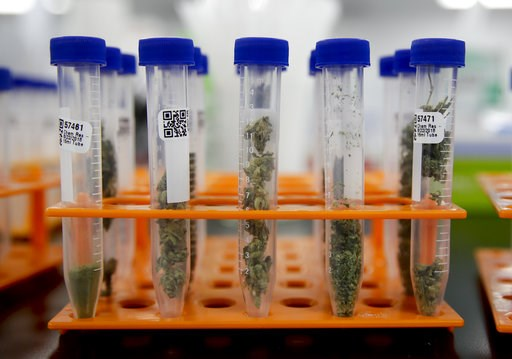 (AP Photo/Chris Carlson). In this Wednesday, Aug. 22, 2018, photo, marijuana samples are organized at Cannalysis, a cannabis testing laboratory, in Santa Ana, Calif. Nearly 20 percent of the marijuana and marijuana products tested in California for pot...