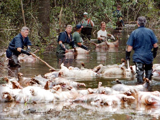 (AP Photo/Alan Marler, File). FILE - In this Sept. 24, 1999, file photo, employees of Murphy Family Farms along with friends and neighbors, float a group of dead pigs down a flooded road on Rabon Maready's farm near Beulaville, N.C. The hogs drowned fr...