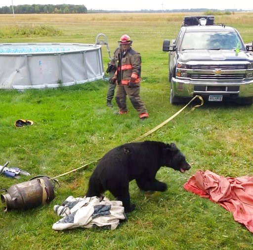 (Dawn Knutson via AP). In this Sept. 7, 2018, photo provided by Dawn Knutson, rescue personnel stand back after working to free a black bear after its head became stuck inside 10-gallon milk can near Roseau, Minn.