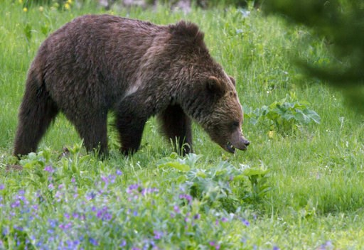 (AP Photo/Jim Urquhart, File). FILE - In this July 6, 2011 file photo, a grizzly bear roams near Beaver Lake in Yellowstone National Park. Opponents of grizzly bear hunts planned in Wyoming and Idaho are asking a judge to further delay hunting while he...