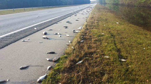 (Jeff Garrett/N.C. Department of Transportation via AP). This Saturday, Sept. 22, 2018, photo provided by the North Carolina Department of Transportation shows fish left on Interstate 40 in Pender County in eastern North Carolina after floodwaters rece...