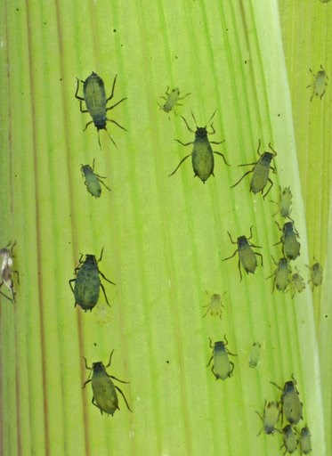 (Meena Haribal/Boyce Thompson Institute via AP). This undated photo provided by the Boyce Thompson Institute shows corn leaf aphids used in a study to modify crop plants through engineered viruses. In an opinion paper published Thursday, Oct. 4, 2018, ...