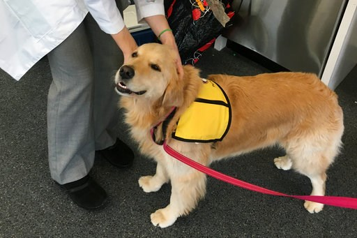 (Meghan Davis/Johns Hopkins University via AP). This March 2017 photo provided by Johns Hopkins University shows therapy dog Winnie at the university's hospital in Baltimore, Md. Therapy dogs who visit hospital patients can bring joy, affection, and _ ...