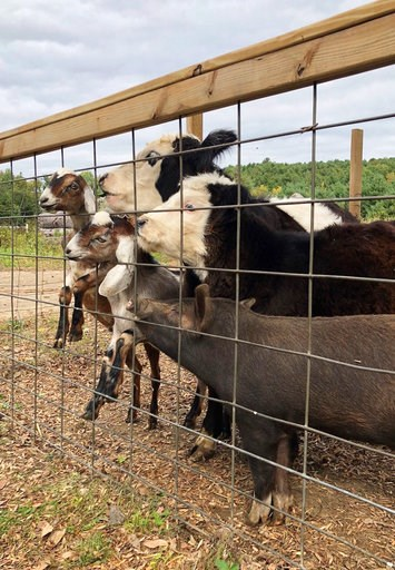 (Michele Devereaux/Tomtem Farm and Sanctuary via AP). In this undated photo taken in Gilford, N.H. Grover the pig stands among other barnyard animals. An animal sanctuary and a farm are working together to spare Grover, a slaughterhouse-bound piglet, t...