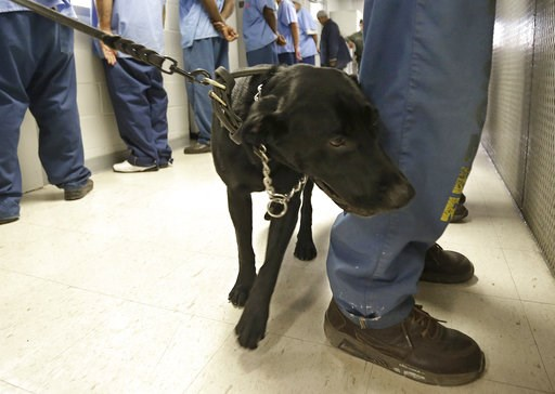 (AP Photo/Rich Pedroncelli, file). FILE -- In this May 20, 2015 file photo, Bentley, a 3-year-old Labrador retriever, checks an inmate for traces of narcotics at California State Prison, Solano, in Vacaville, Calif. The federal receiver who controls me...