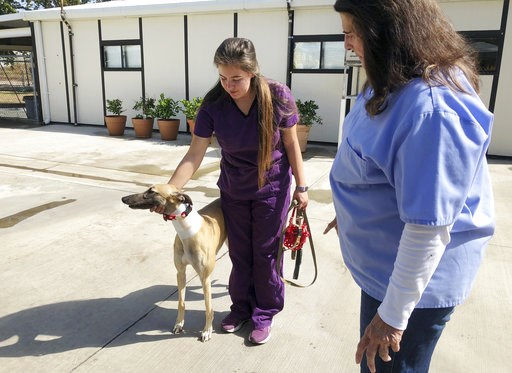 (AP Photo/Amy Taxin). In this Wednesday, Oct. 10, 2018, photo, manager Karen Stalk watches as a worker returns a greyhound after donating blood at Hemopet canine blood bank in Garden Grove, Calif. The organization said the dogs are walked at least five...