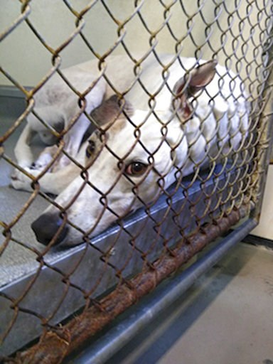 (PETA via AP). This 2018 photo provided by the animal rights group People for the Ethical Treatment of Animals shows a greyhound in an enclosure at Hemopet canine blood bank in Garden Grove, Calif. PETA has filed a complaint alleging mistreatment of do...