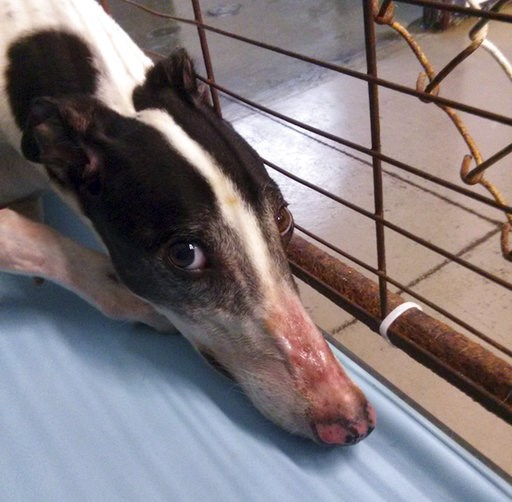 (PETA via AP). This 2018 photo provided by the animal rights group People for the Ethical Treatment of Animals shows a greyhound with red, peeling skin on its nose at Hemopet canine blood bank in Garden Grove, Calif. PETA's observer said a staff member...