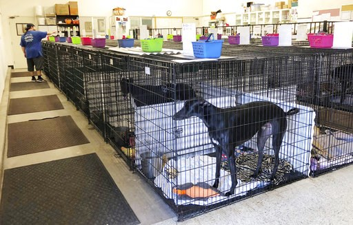 (AP Photo/Amy Taxin). This Wednesday, Oct. 10, 2018, photo shows a greyhound in a crate at Hemopet in Garden Grove, Calif. The nonprofit organization that runs a canine blood bank and places greyhounds in adoptive homes said dogs are housed in crates a...