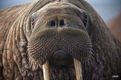 (Ryan Kingsbery/U.S. Geological Survey via AP). This photo provided by the United States Geological Survey shows a female Pacific walrus resting, Sept. 19, 2013 in Point Lay, Alaska. A lawsuit making its way through federal court in Alaska will decide ...