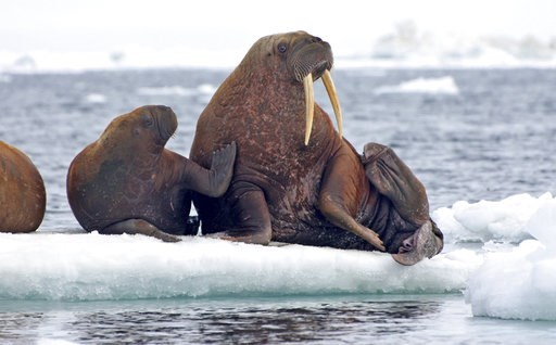 (S.A. Sonsthagen/U.S. Geological Survey via AP). This June 12, 2010, photo provided by the United States Geological Survey shows Pacific walruses resting on an ice flow in the Chukchi Sea, Alaska.  A lawsuit making its way through federal court in Alas...