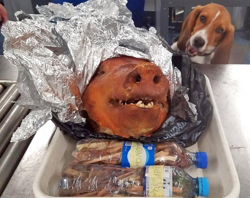(U.S. Customs and Border Protection via AP). In this Oct. 11, 2018 photo provided by the U.S. Customs and Border Protection, CBP Agriculture Detector K-9 named Hardy looks at a roasted pig's head at Atlanta's Hartsfield-Jackson International Airport. A...