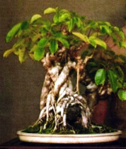 (Hawaii County Police Department via AP). This undated photo provided by the Hawaii County Police Department shows a bonsai tree that has been stolen, and authorities are seeking the public's help in locating it. Hawaii police are trying to find the pe...