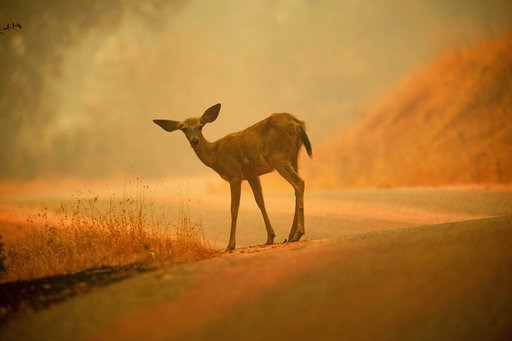 (AP Photo/Noah Berger, File). FILE - In this July 28, 2018, file photo, a deer grazes along a road covered in fire retardant as the Carr Fire burns near Redding, Calif. More than 80 families who lost their homes in California's deadly Carr Fire in July...