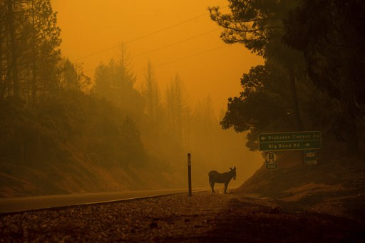 (AP Photo/Noah Berger). A donkey rests on a roadside as the Camp Fire burns in Big Bend, Calif., on Friday, Nov. 9, 2018.