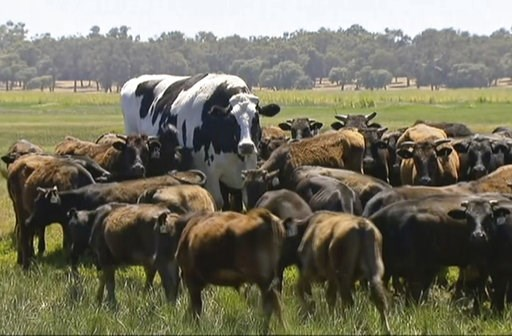 (Channel 7's Today Tonight via AP). In this image made from video taken Nov. 15, 2018, Knickers the steer, center back, is in paddock with cow herdin Lake Preston, Australia.  A enormous steer in the state of Western Australia has avoided the abattoirs...