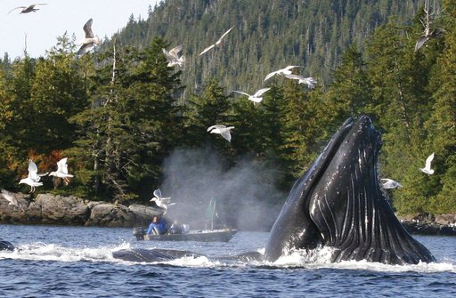 (Tom Miller/Ketchikan Daily News via AP, file). FILE - In this Oct. 3, 2009 file photo, boaters and fishermen watch as a group of up to six humpback whales feed on herring near Ketchikan, Alaska. Over the past several years researchers have noticed a d...