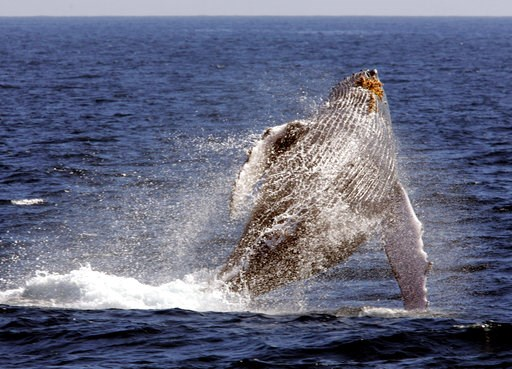 """(AP Photo/Reed Saxon, File). File - In this Jan. 23, 2005 file photo, a whale leaps out of the water in what is called """"breaching,"""" as seen from a whale watching boat operated by the Pacific Whale Foundation in the channel off the town of Lahaina on th..."""