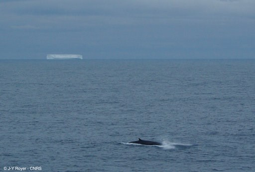 (Jean-Yves Royer/CNRS-UBO-IUEM Geosciences Ocean via AP). This Jan. 6, 2010 photo provided by CNRS-UBO-IUEM Geosciences Ocean, shows a fin whale, foreground, and tabular drifting iceberg near Antarctica. Climate Change is more than rising thermometers,...