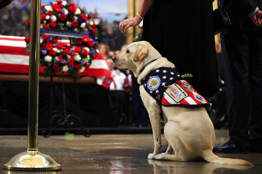 (AP Photo/Manuel Balce Ceneta). Sully, former President George H.W. Bush's service dog, pays his respect to President Bush as he lie in state at the U.S. Capitol in Washington, Tuesday, Dec. 4, 2018.