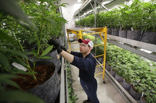 (AP Photo/Steven Senne, File). FILE - In this July 12, 2018, file photo head grower Mark Vlahos, of Milford, Mass., tends to cannabis plants, at Sira Naturals medical marijuana cultivation facility, in Milford, Mass. The legal marijuana industry explod...