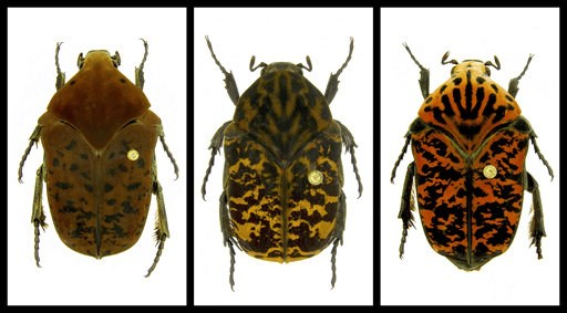 (Brett Ratcliffe via AP). This combination of undated photos provided by Brett Ratcliffe in December 2018 shows, from left, Gymnetis drogoni, Gymnetis rhaegali and Gymnetis viserioni beetles from South America. Ratcliffe named three of his eight newest...