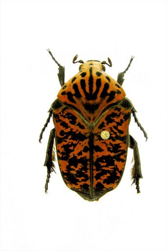 (Brett Ratcliffe via AP). This undated photo provided by Brett Ratcliffe in December 2018 shows a Gymnetis viserioni beetle from the Calima Valley in Colombia. Ratcliffe named three of his eight newest beetle discoveries after the dragons from the HBO ...