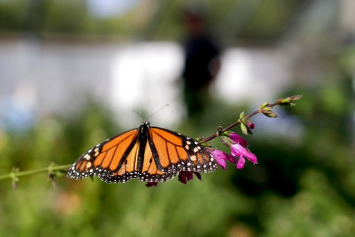 "(AP Photo/Gregory Bull, File). FILE- In this Aug. 19, 2015 photo, Tom Merriman stands behind a monarch in his butterfly atrium at his nursery in Vista, Calif.  Researchers with an environmental group are labeling as ""disturbingly low"" the number of wes..."