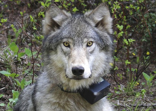 (Oregon Department of Fish and Wildlife via AP, file). FILE - This March 13, 2014 file photo provided by the Oregon Department of Fish and Wildlife shows a female wolf from the Minam pack outside La Grande, Ore., after it was fitted with a tracking col...