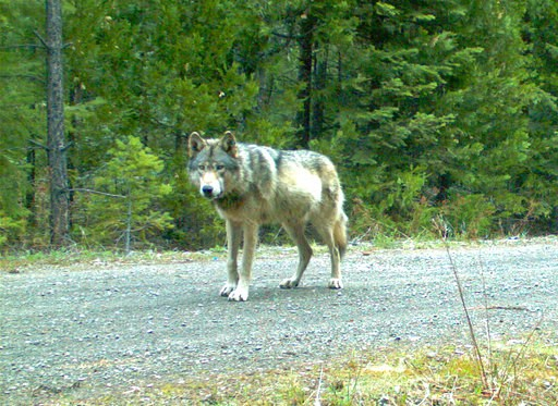 (Oregon Department of Fish and Wildlife via AP, File). FILE - In this remote camera photo taken May 3, 2014, and provided by the Oregon Department of Fish and Wildlife the wolf OR-7 stands on the Rogue River-Siskiyou National Forest in southwest Oregon...