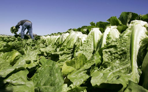 (AP Photo/Paul Sakuma, File). FILE - In this Aug. 16, 2007 file photo, a worker harvests romaine lettuce in Salinas, Calif. U.S. health officials are declaring an end to a food poisoning outbreak blamed on romaine lettuce from California.