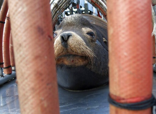"(AP Photo/Gillian Flaccus, File). FILE  - In this March 14, 2018, file photo, a California sea lion peers out from a restraint nicknamed ""The Squeeze"" near Oregon City, Ore., as it is prepared for transport by truck to the Pacific Ocean about 130 miles..."